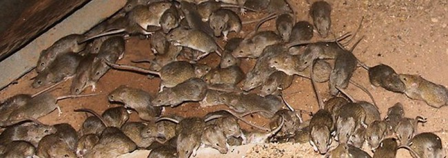Rodent infestation